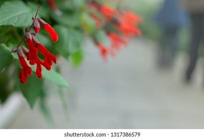 Red Salvia gesneriflora gesneriiflora flowers