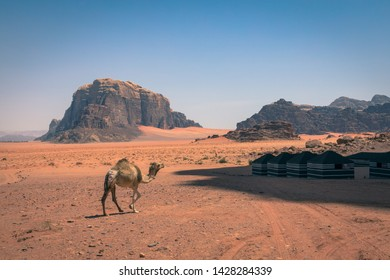 Red sand desert and camels at sunny summer day in Wadi Rum, Jordan. Middle East. UNESCO World Heritage Site and is known as The Valley of the Moon.