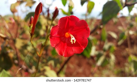 A red scarlet morning glory (Ipomoea hederifolia) flower with a sparse leaves background.