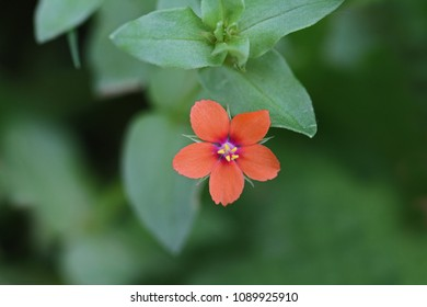 red scarlet pimpernel flower Latin anagallis arvensis sometimes known as poor man's barometer, red chickweed or shepherd's weather glass in a meadow in springtime in Italy