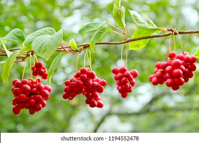 Red schisandra. Clusters of ripe schizandra. Crop of useful plant. Red schizandra hang in row on green branch. Schizandra chinensis plant with fruits on branch. Schizandra omija of Korea
