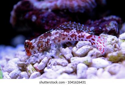Red Scooter Dragonet mandarin fish
