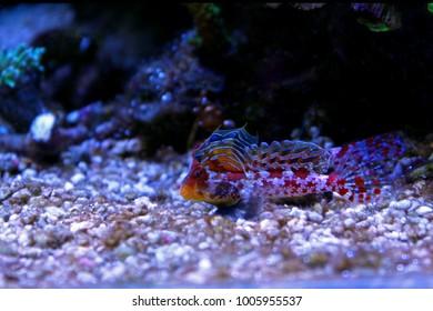 Red Scooter Dragonet (Synchiropus stellatus)