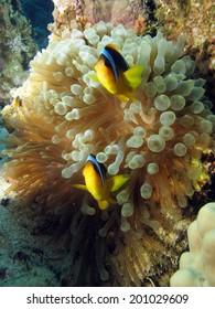 Red Sea anemonefish couple