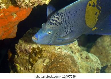 Red Sea Angelfish (Pomacanthus maculosus)