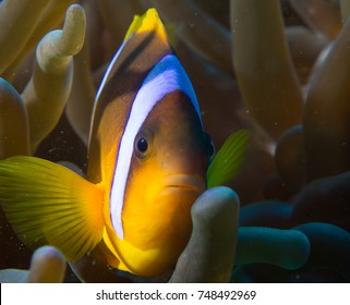 Red Sea Clownfish - Amphiprion bicinctus Eilat- Red sea