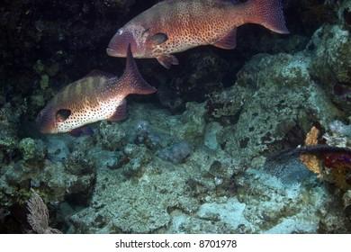 Red sea coralgroupers (Plectropomus pessuliferus)