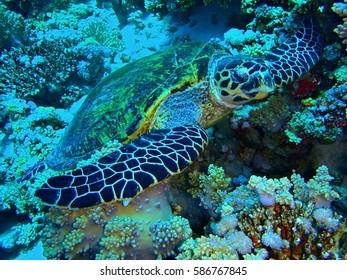 Red Sea, Egypt / Hawksbill turtle