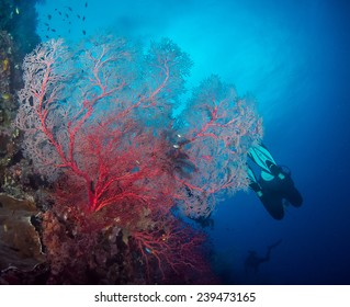 Red sea fan with diver