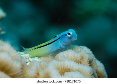Red sea mimic blenny on a hard coral