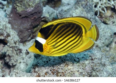 Red Sea racoon butterflyfish (Chaetodon fascinatus)