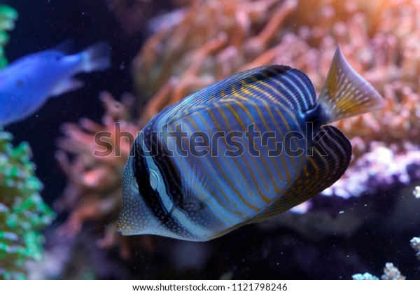 Red Sea sailfin tang or Desjardin's sailfin tang (Zebrasoma desjardinii)