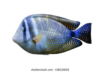 Red Sea Sailfin tang isolated on white background