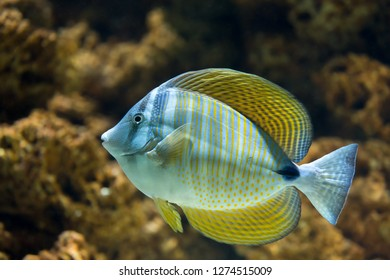 Red Sea sailfin tang, Zebrasoma desjardinii, also known as Desjardin sailfin tang, a marine reef fish from tropical waters of the Indian Ocean