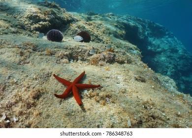 A red sea star on a rock underwater with sea urchins and small fish in background, Mediterranean sea, Spain, Costa Brava, Catalonia, Cap de Creus