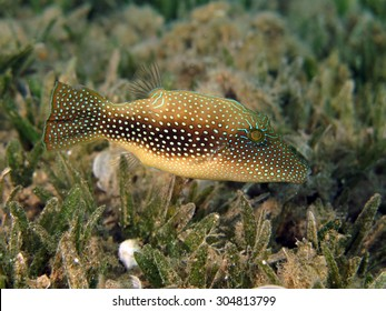 Red Sea toby (puffer) on seagrass