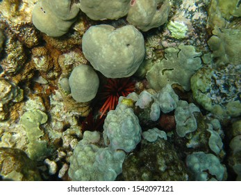 A red sea urchin hides between coral heads on a reef in Hawaii