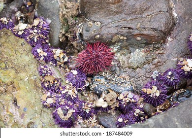 Red Sea Urchin at Low Tide