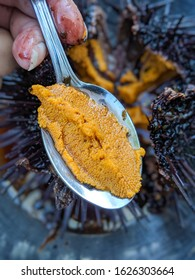 red sea urchin roe uni live on spoon