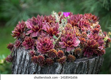 Red Sempervivum Houseleek succulent plants