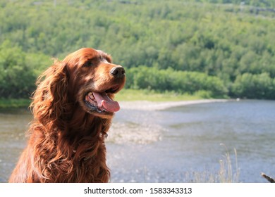 Red setter by the river in Norway