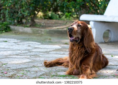 Red setter dog in the park