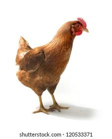 Red sex link chicken hen standing on white background