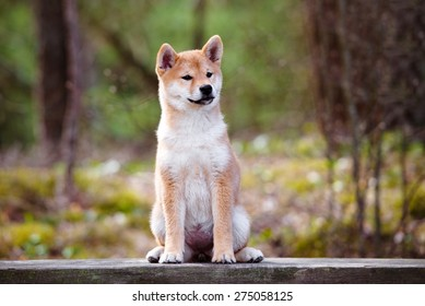 red shiba-inu puppy sitting on a bench