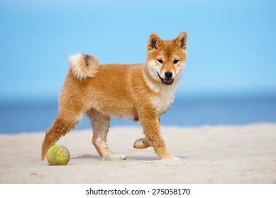 red shiba-inu puppy walking on a beach