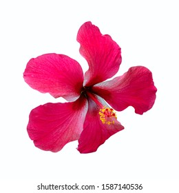 Red Shoe flowers of Hibiscus flowers isolated on white background with clipping path.