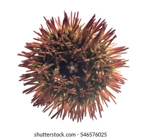 Red short - spined (variegated) sea urchin (Lytechinus variegatus).  Isolated on white background