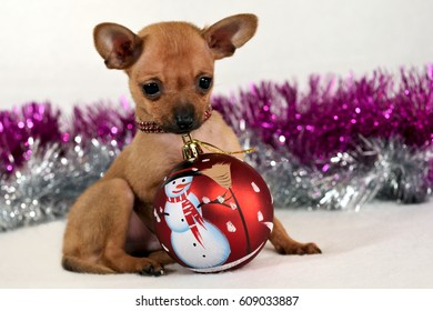 Red short-haired Russkiy toy (Russian toy terrier) puppy with a new year ball on a white background.