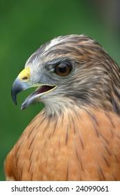 Red Shouldered Hawk closeup