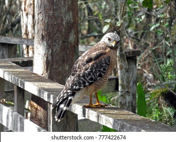 Red Shouldered Hawk at Corkscrew Swamp Sanctuary
