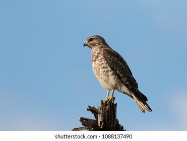 Red Shouldered Hawk in Florida Wetland