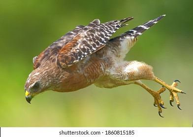 red shouldered hawk flying towards prey