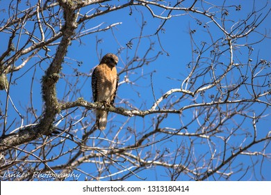 A Red Shouldered Hawk sits perched above 40 Acre Lake at Brazos Bend State Park.  It gazes at the water for a morning meal.