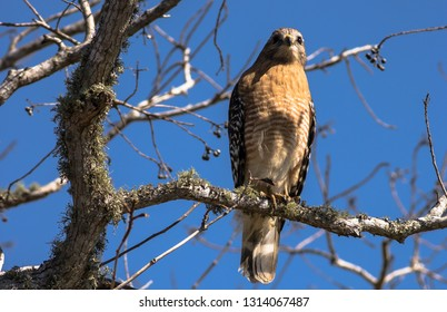 A Red Shouldered Hawk sits perched above 40 Acre Lake at Brazos Bend State Park.  It gazes at the water scanning for a morning meal.