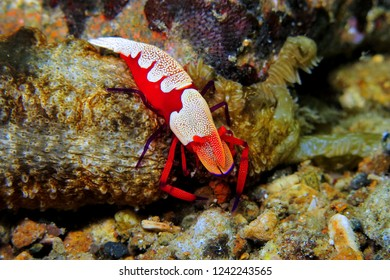 Red shrimp (Emperor shrimp - Periclimenes imperator) on the coral reef. Detail of the red crab. Underwater photography from scuba diving on the reef.