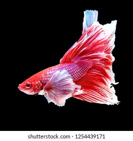 Red siamese fighting fish, Betta fish, betta splendens (Halfmoon betta), biting fish, Thai popular aquarium fish isolated on black background