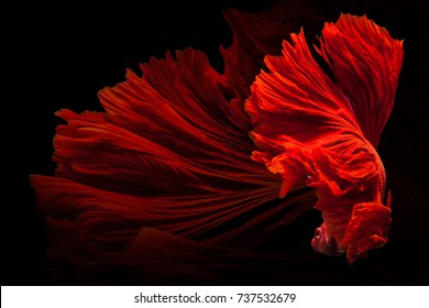 Red Siamese fighting fish (Rosetail)(Halfmoon),fighting fish,Betta splendens