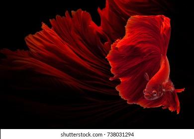 Red Siamese fighting fish (Rosetail)(Halfmoon),fighting fish,Betta splendens