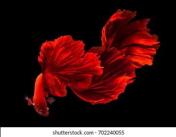 Red Siamese fighting fish(Rosetail),fighting fish,Betta splendens