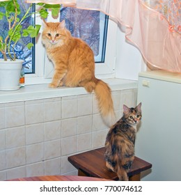 A red Siberian cat and an American shorthair cat sit in a room on the background of a winter window