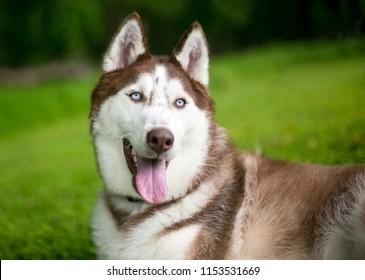 A Red Siberian Husky dog outdoors