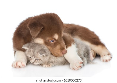 Red Siberian Husky puppy embracing scottish kitten. isolated on white background