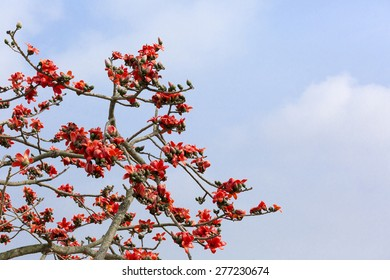 Red Silk Cotton Tree - The Latin name is Bombax Ceiba