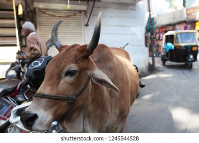Red Sindhi (breed) cow walking through the streets of Ahmedabad