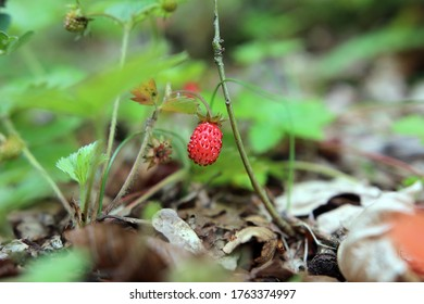 Red single strawberry hanging on branch on forest ground