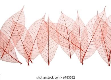 Red Skeleton Leaves on white background